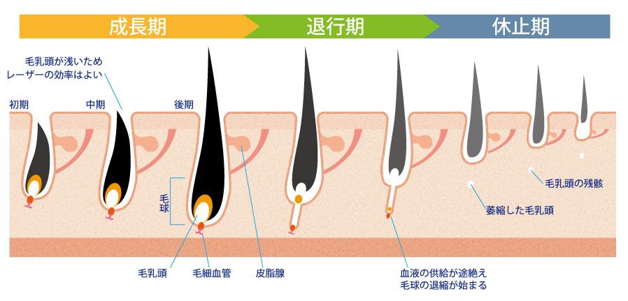 毛周期は「成長期」→「退行期」→「休止期」を繰り返しています。